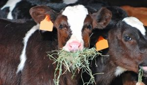 what do cows like to eat