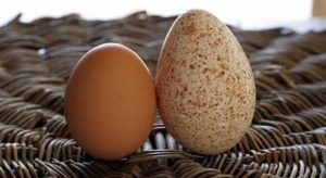 Turkey egg vs chicken egg